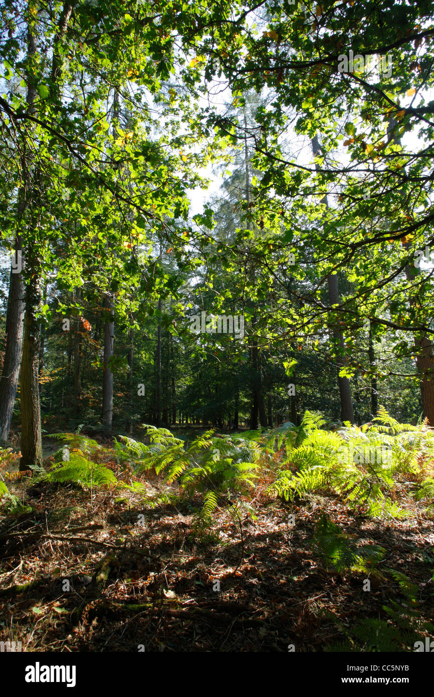 Mixed oak and coniferous woodland in the Forest of Dean, Gloucestershire, England. September. - Stock Image