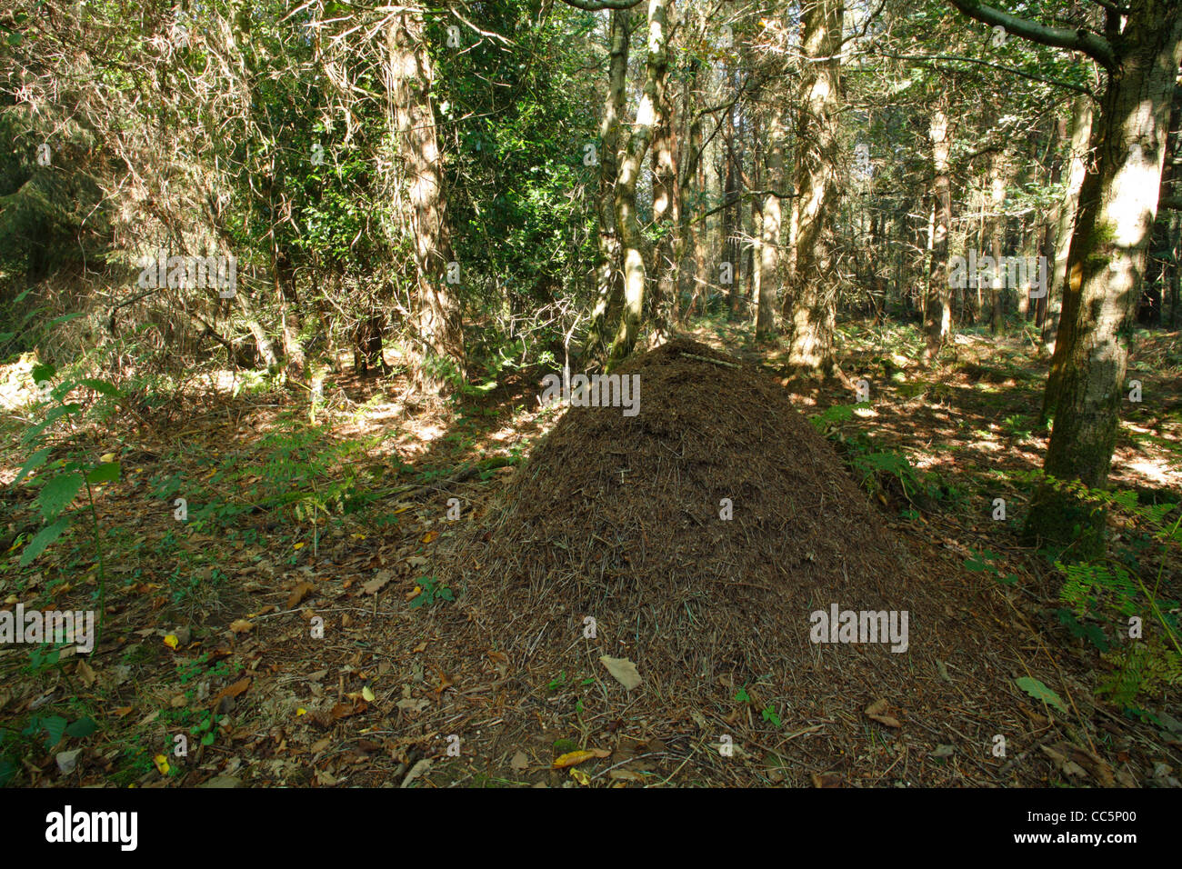 Wood ant (Formica sp.) nest in coniferous woodland. In the Forest of Dean, Gloucestershire, England. September. - Stock Image