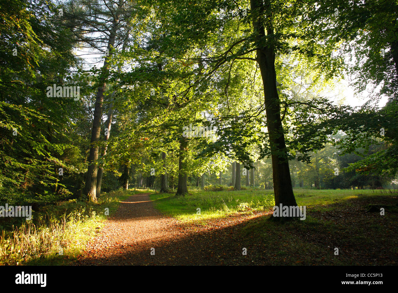 Path through mixed Beech/coniferous woodland. The Forest of Dean, Gloucestershire, England. September. - Stock Image