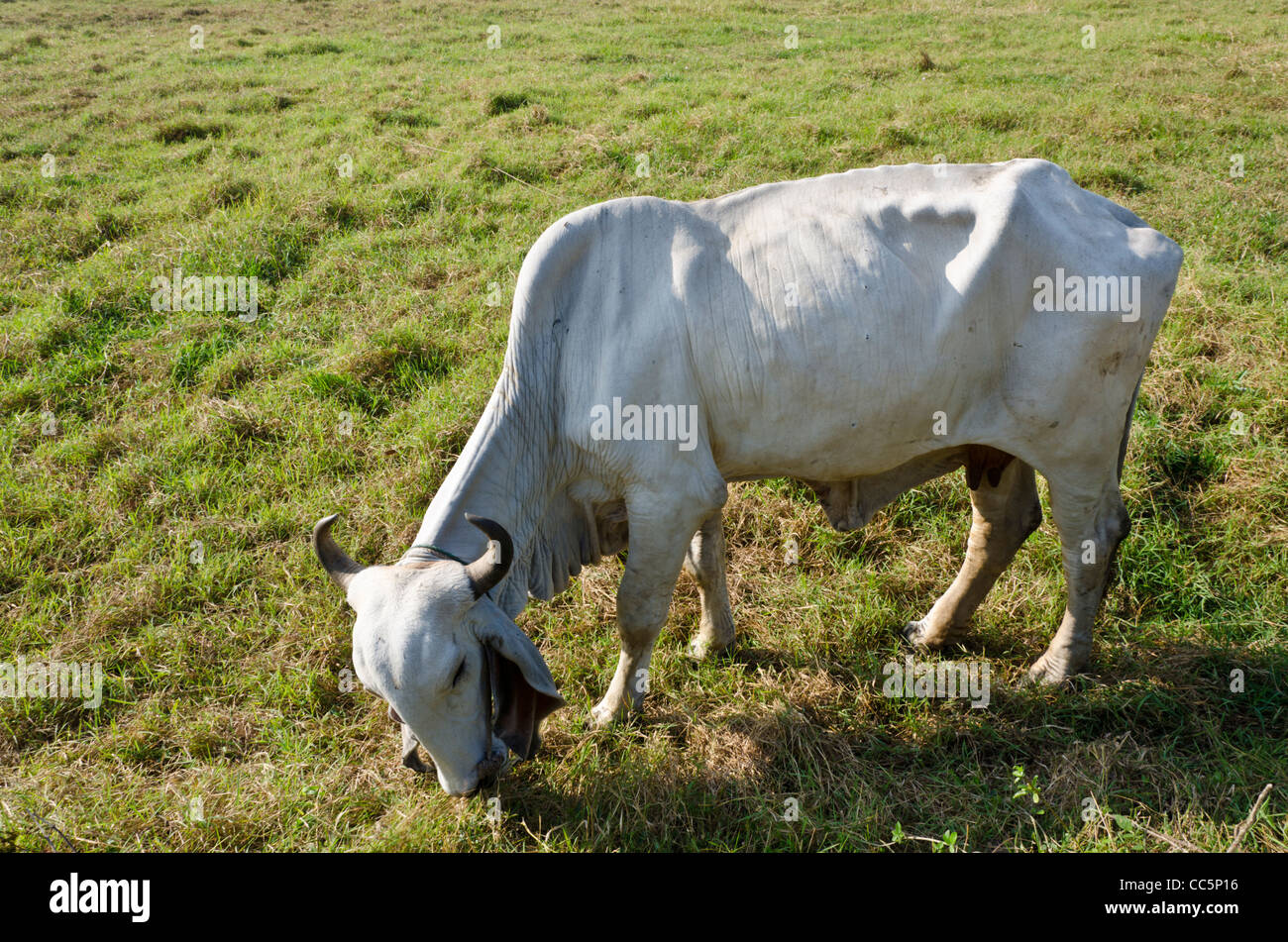 A large white Brahman cow with curved horns and large floppy ears grazing in a field in northern Thailand - Stock Image