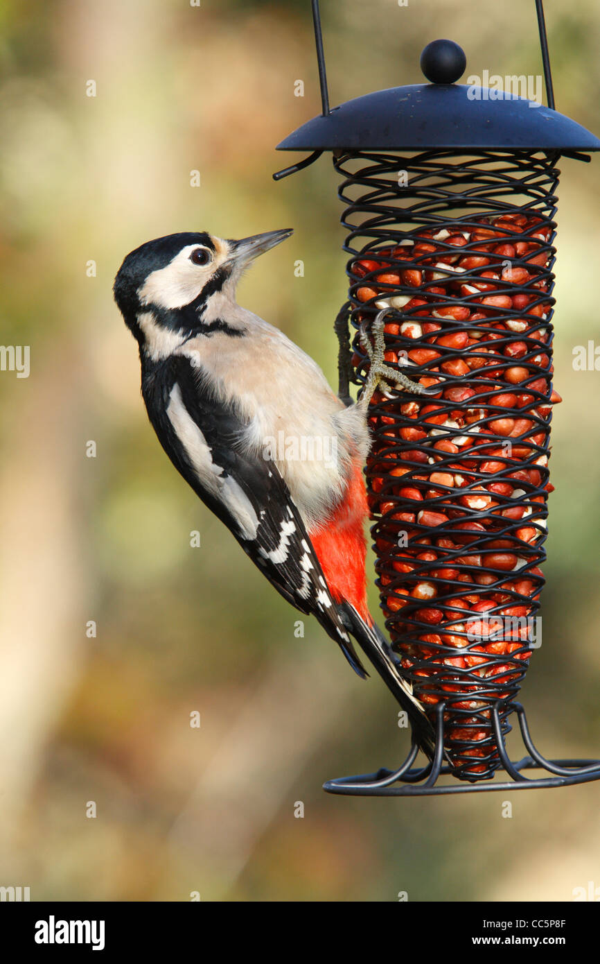Great Spotted Woodpecker (Dendrocopus major) adult female feeding on a wire peanut feeder. Powys, Wales, November. - Stock Image