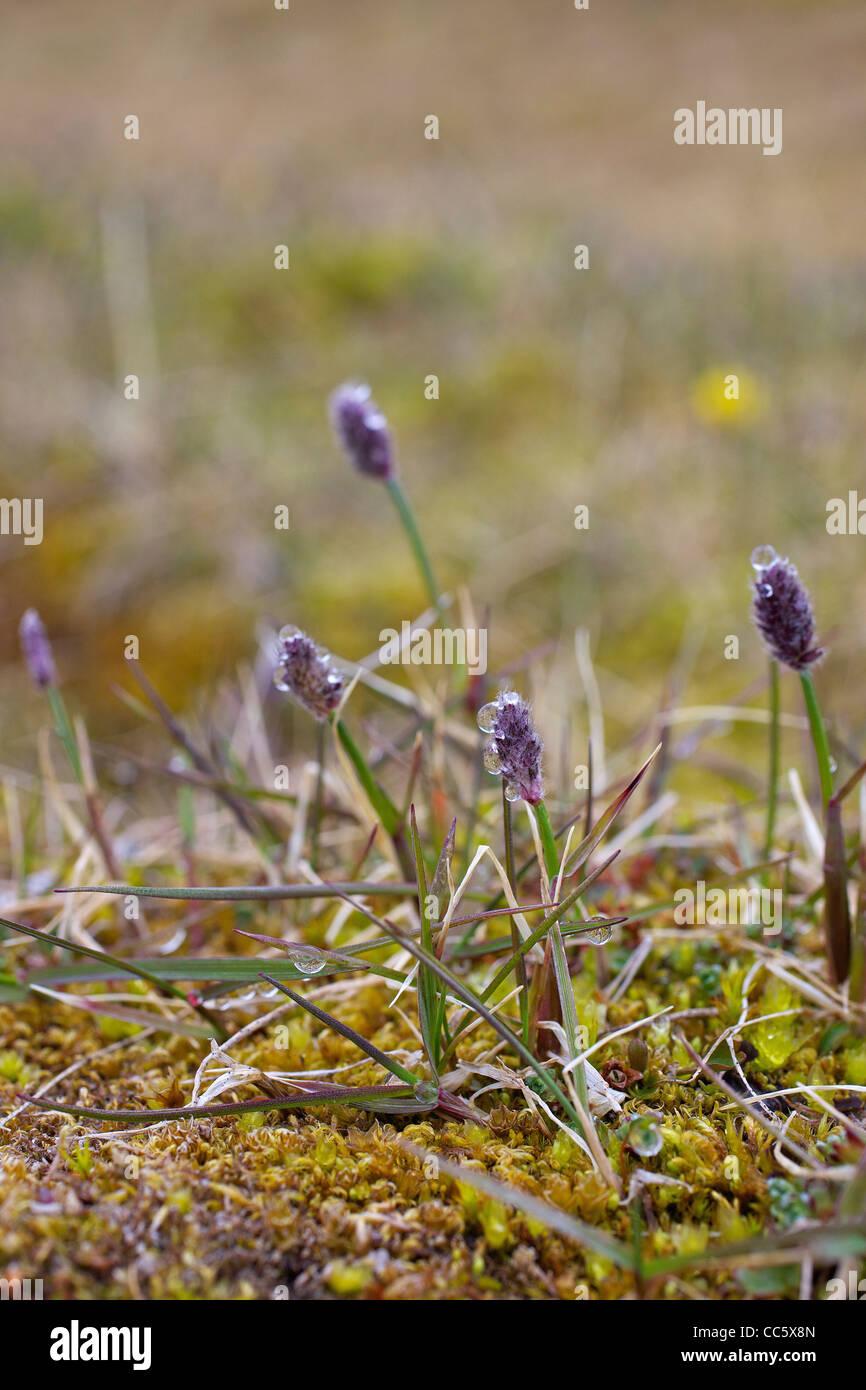 Arctic wood-rush, Lazula Arctica, Spitzbergen, Svalbard, Norway, Europe - Stock Image