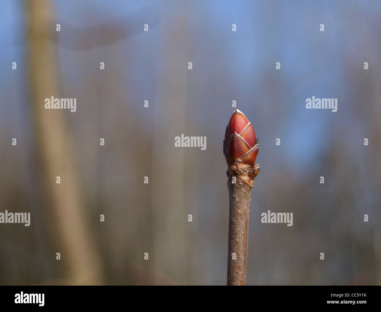 bud from Norway Maple / Acer platanoides / Knospe vom Spitzahorn Stock Photo