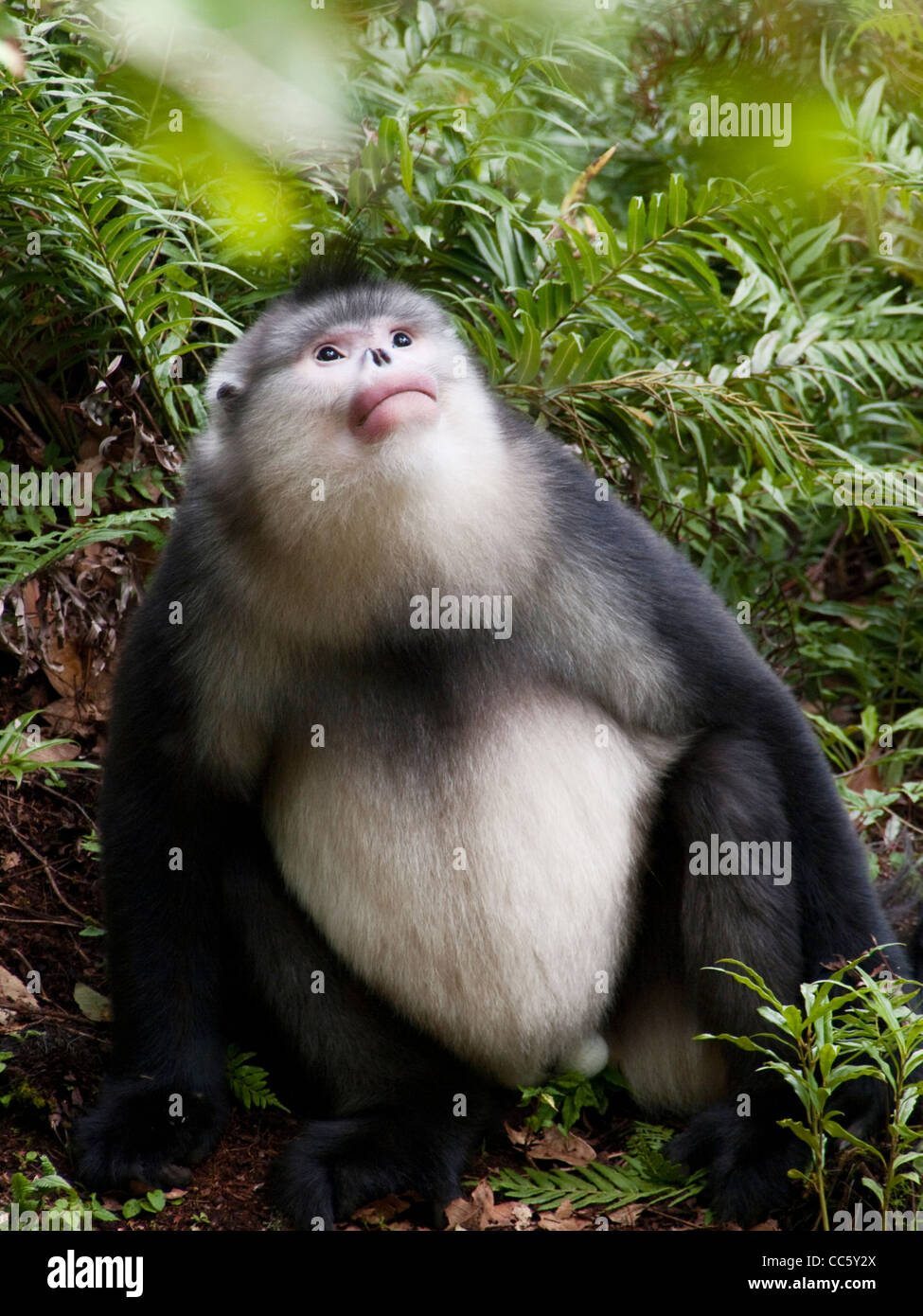 Black snub-nosed monkey, Yunling Mountains Nature Reserve, Nujiang, Yunnan , China - Stock Image