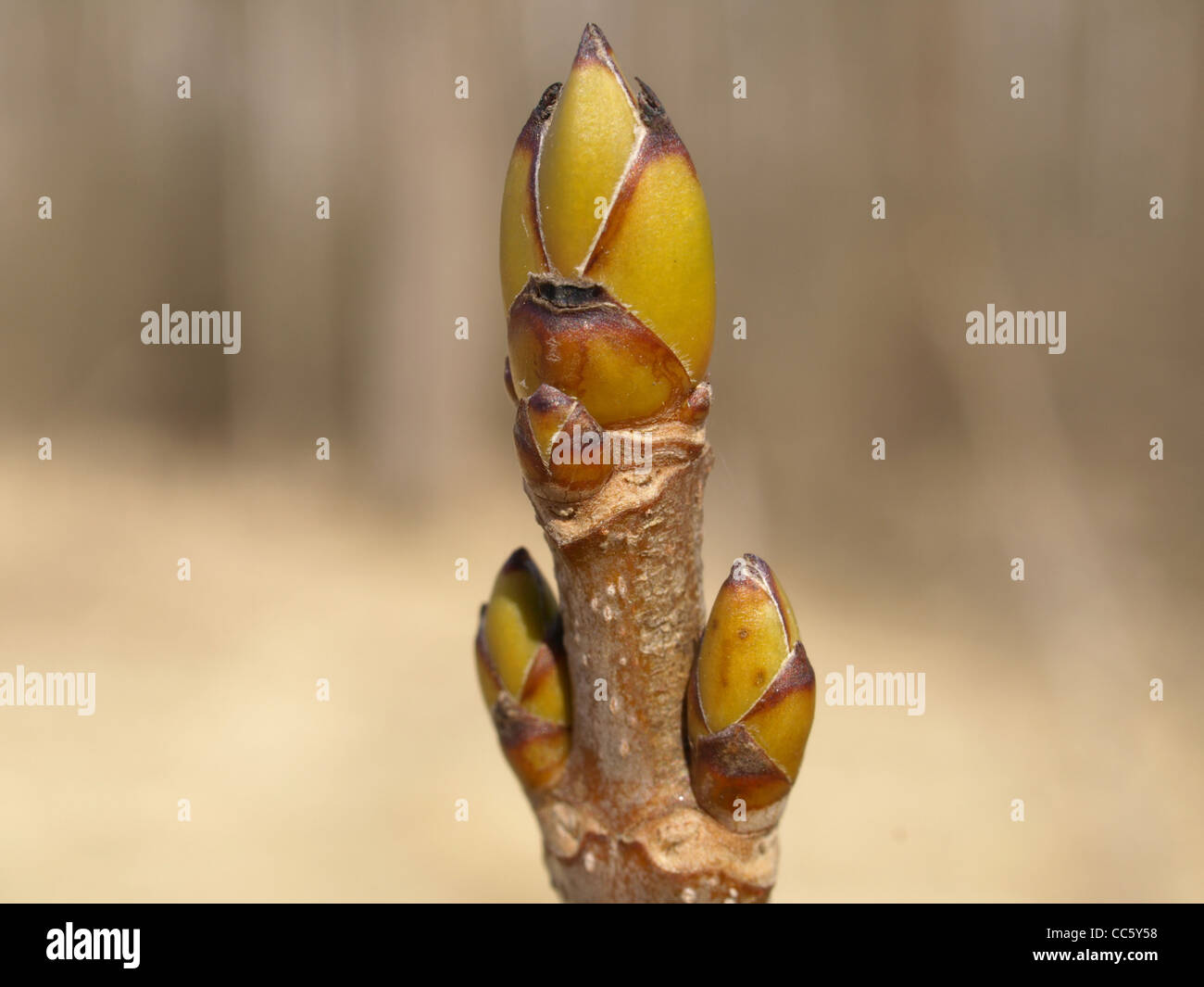 buds from sycamore maple / Acer pseudoplatanus / Knospen vom Bergahorn Stock Photo