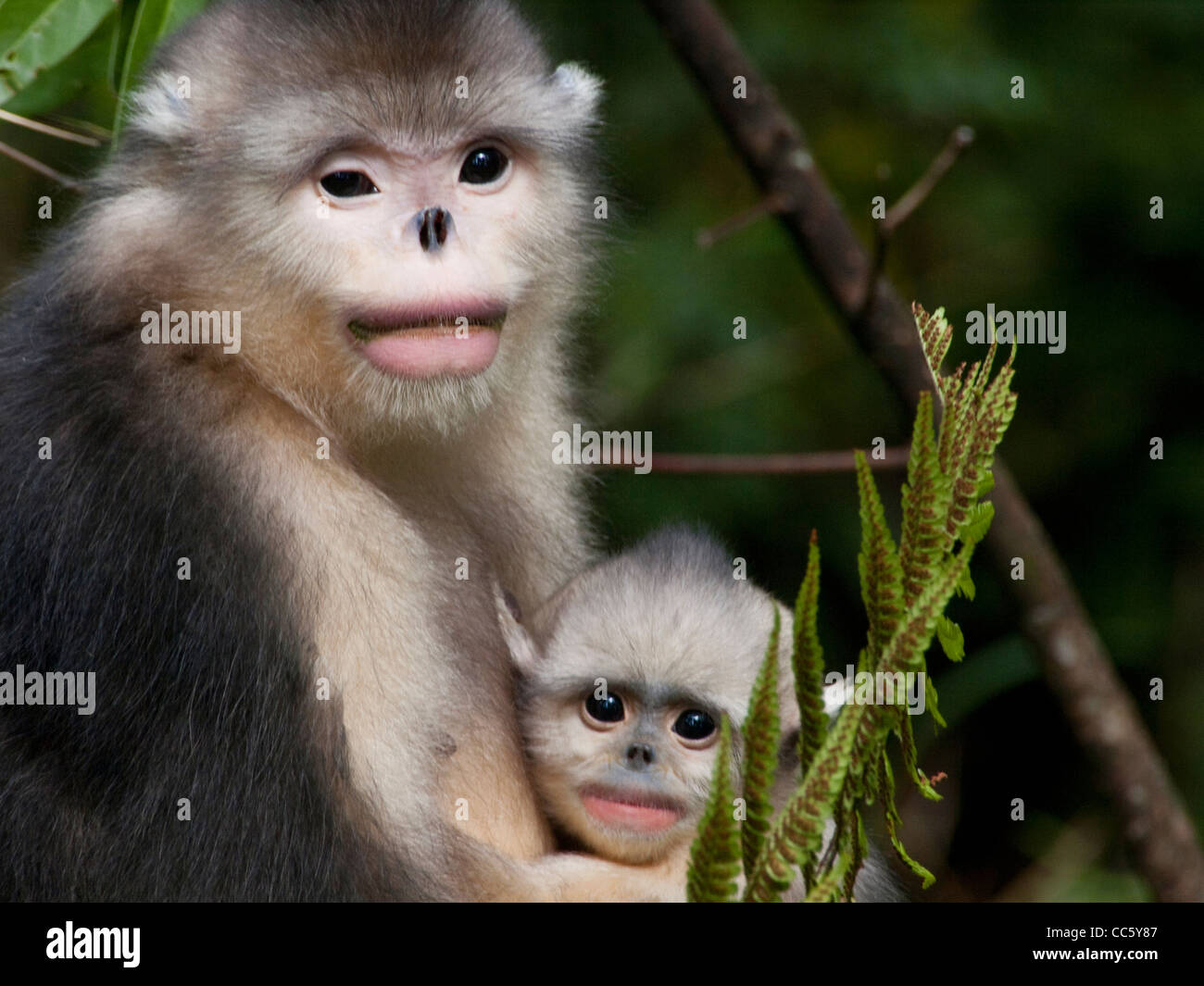 Black snub-nosed monkey with a cub, Yunling Mountains Nature Reserve, Nujiang, Yunnan , China - Stock Image