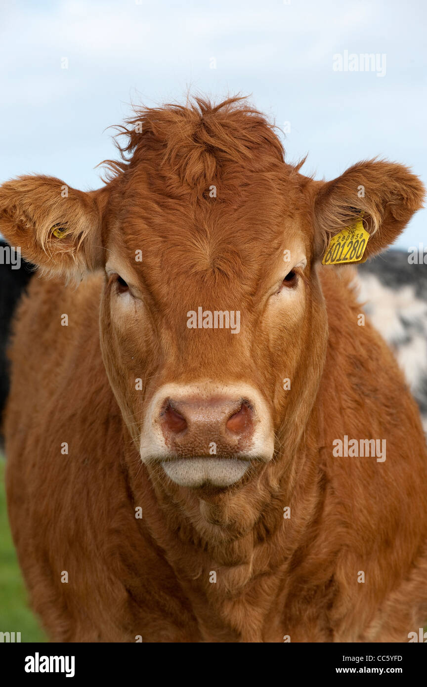 Close up of Limousin heifer. - Stock Image