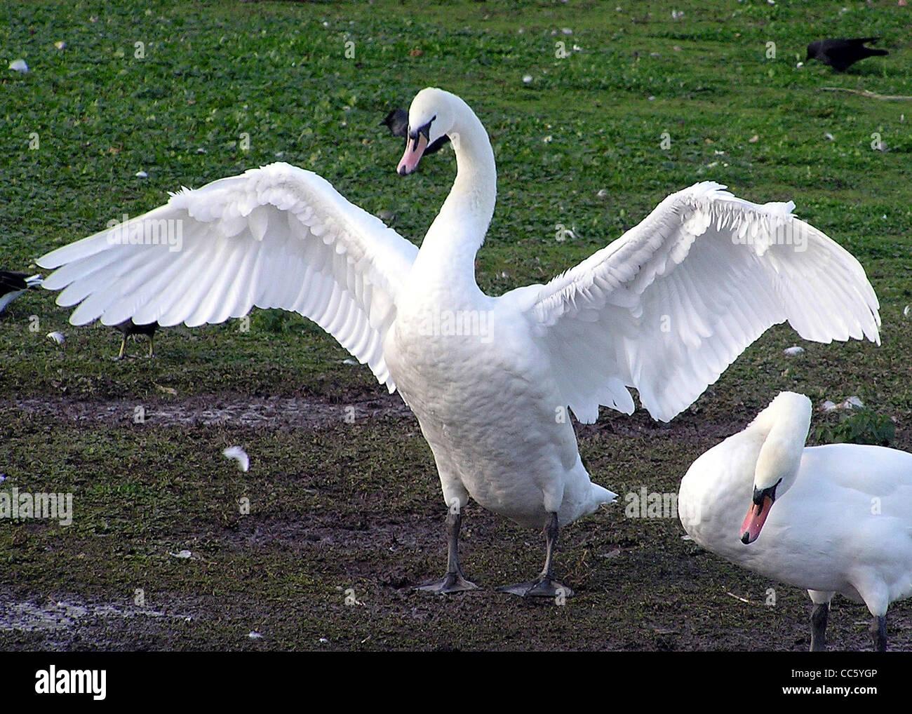 A swan spreads its wings at Slimbridge Wildfowl & Wetlands Centre, Slimbridge, Gloucestershire, England. - Stock Image