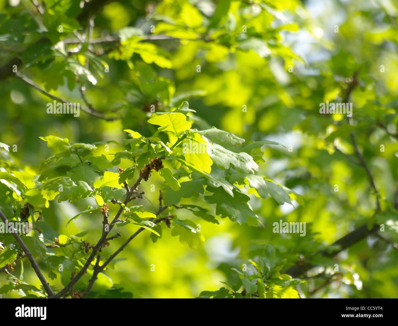 English Oak, tree / Quercus robur  / Stiel-Eiche - Stock Image