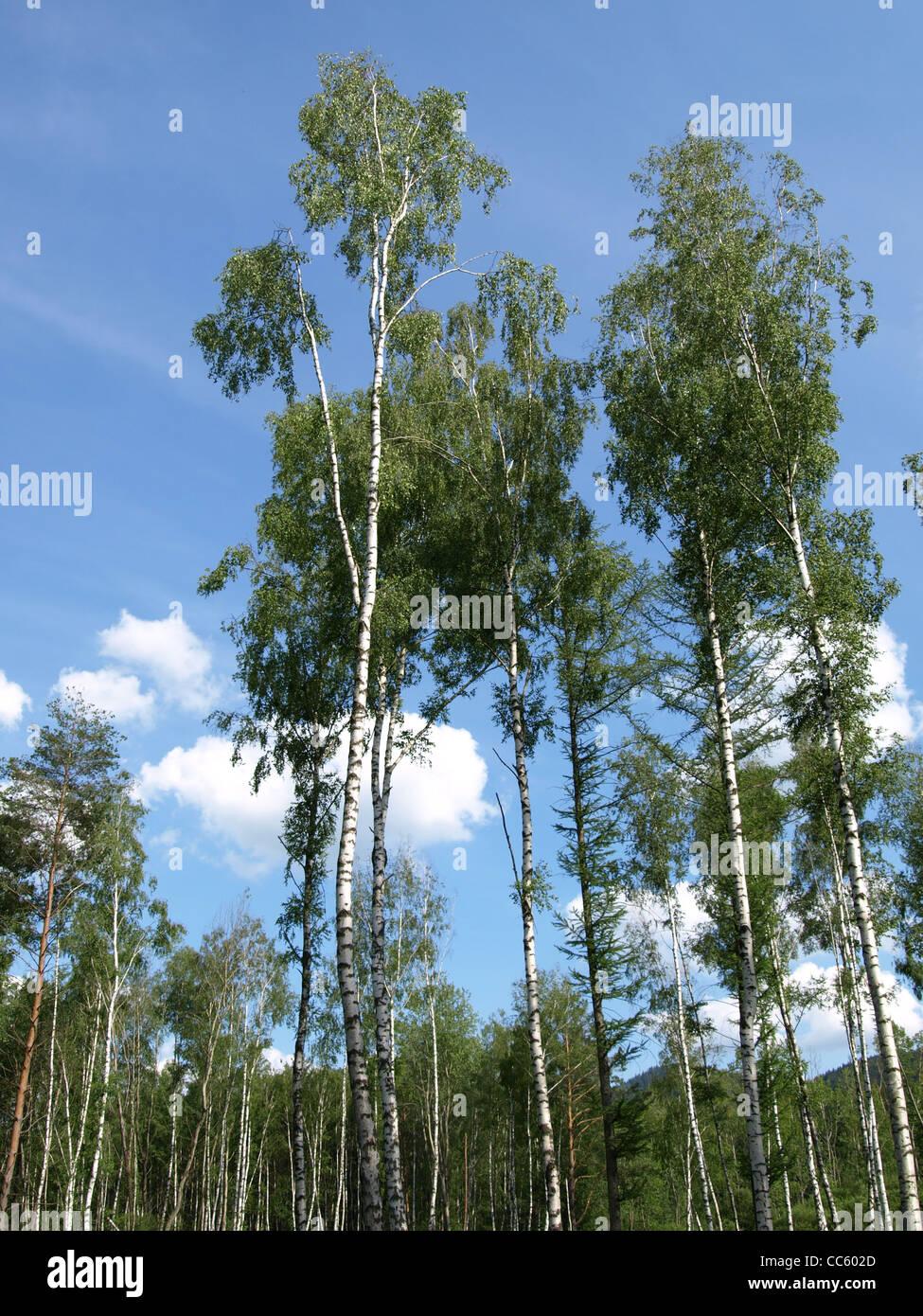 wood, birch trees and larchs in the Arrach high moor /  Wald, Birken und Lärchen im Arracher Hochmoor Stock Photo
