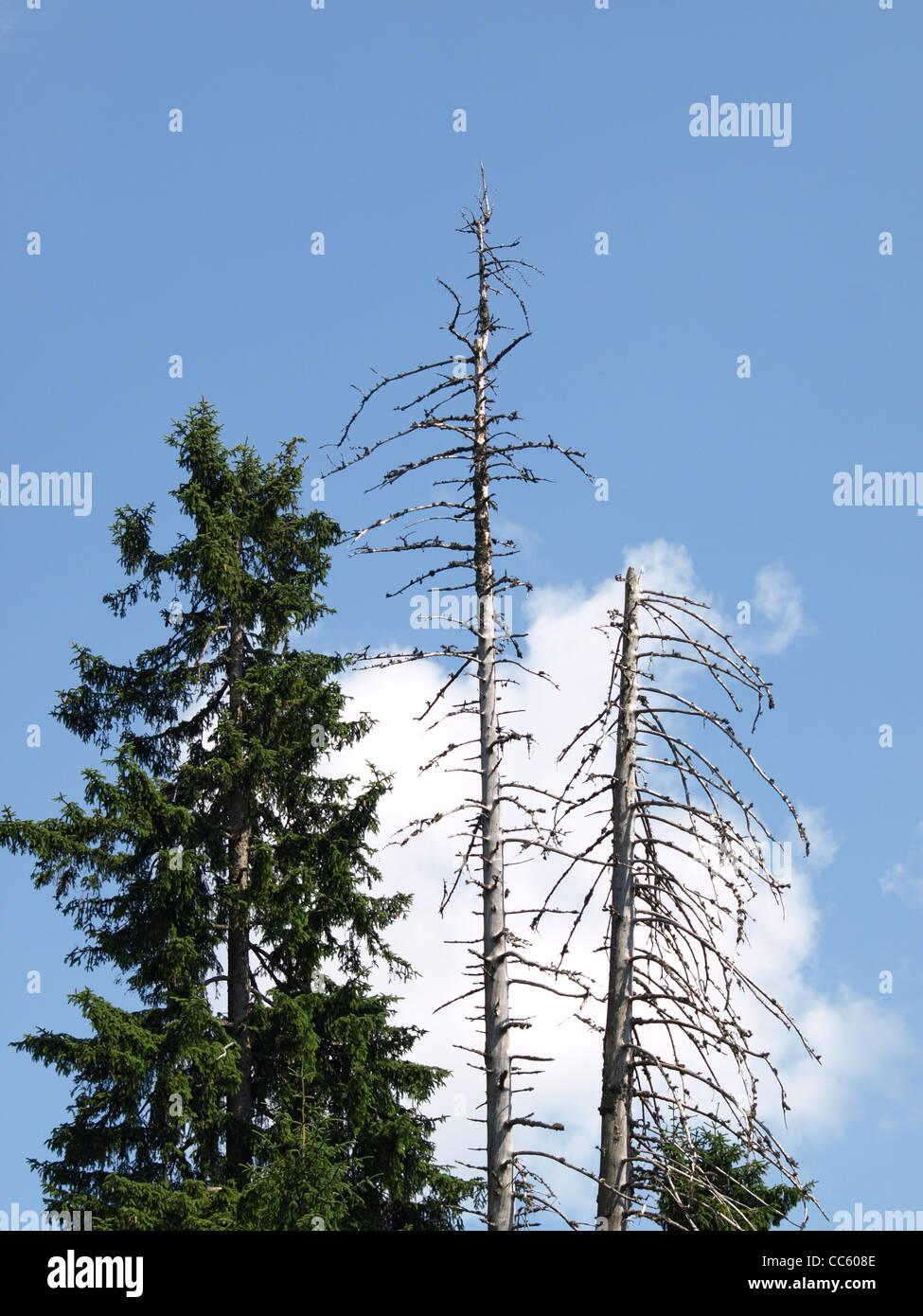 dead and green norway spruce, blue sky with clouds / abgestorbene und grüne Fichten, blauer Himmel mit Wolken - Stock Image
