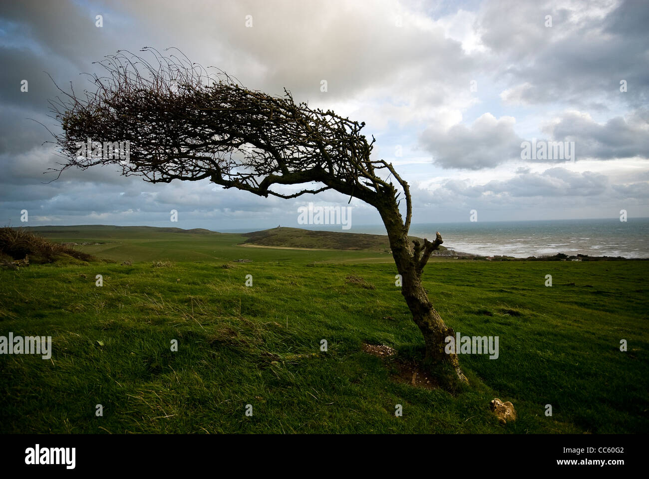 Windswept Hawthorn tree on the South Downs near Birling Gap, East Sussex, UK - Stock Image