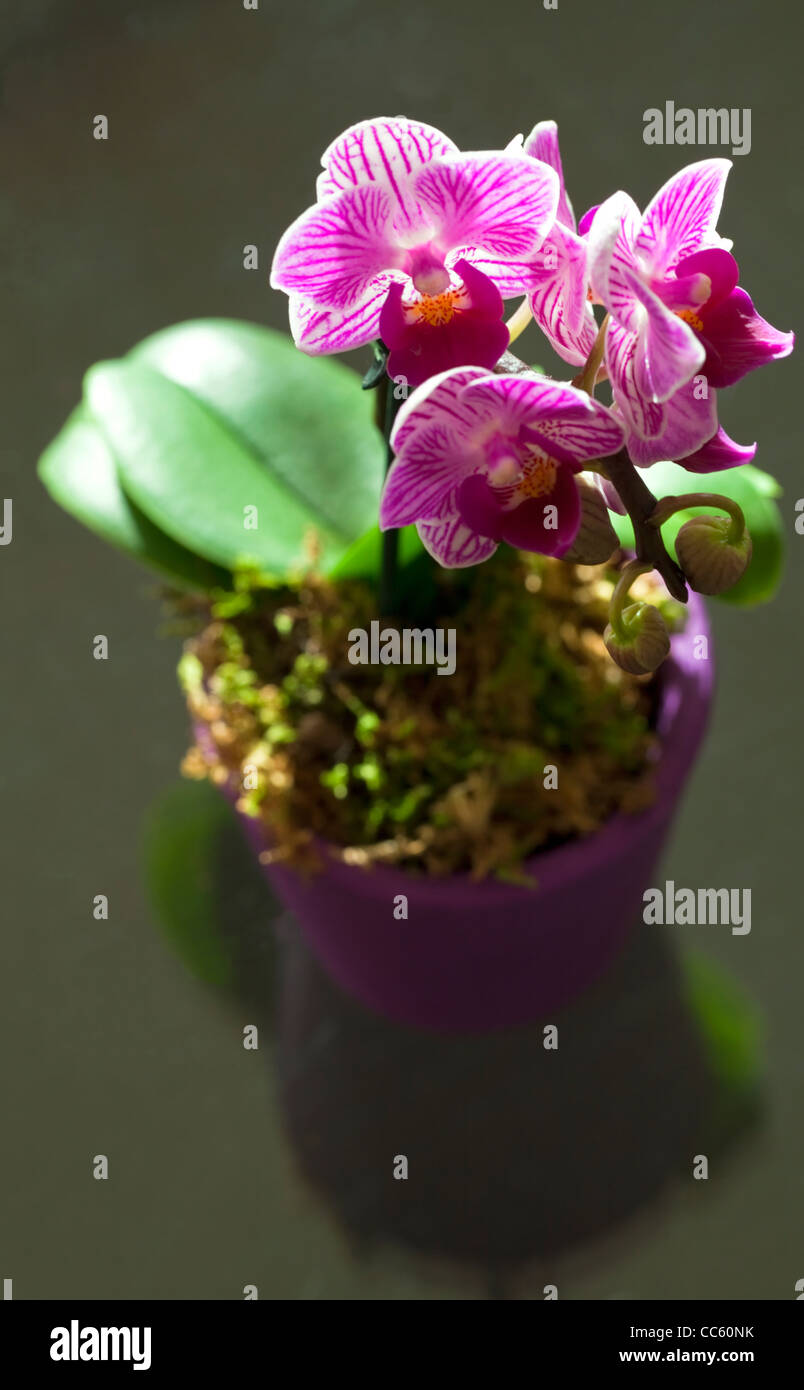Bunch of orchids ( Phalaenopsis Sogo yukidian) - Stock Image