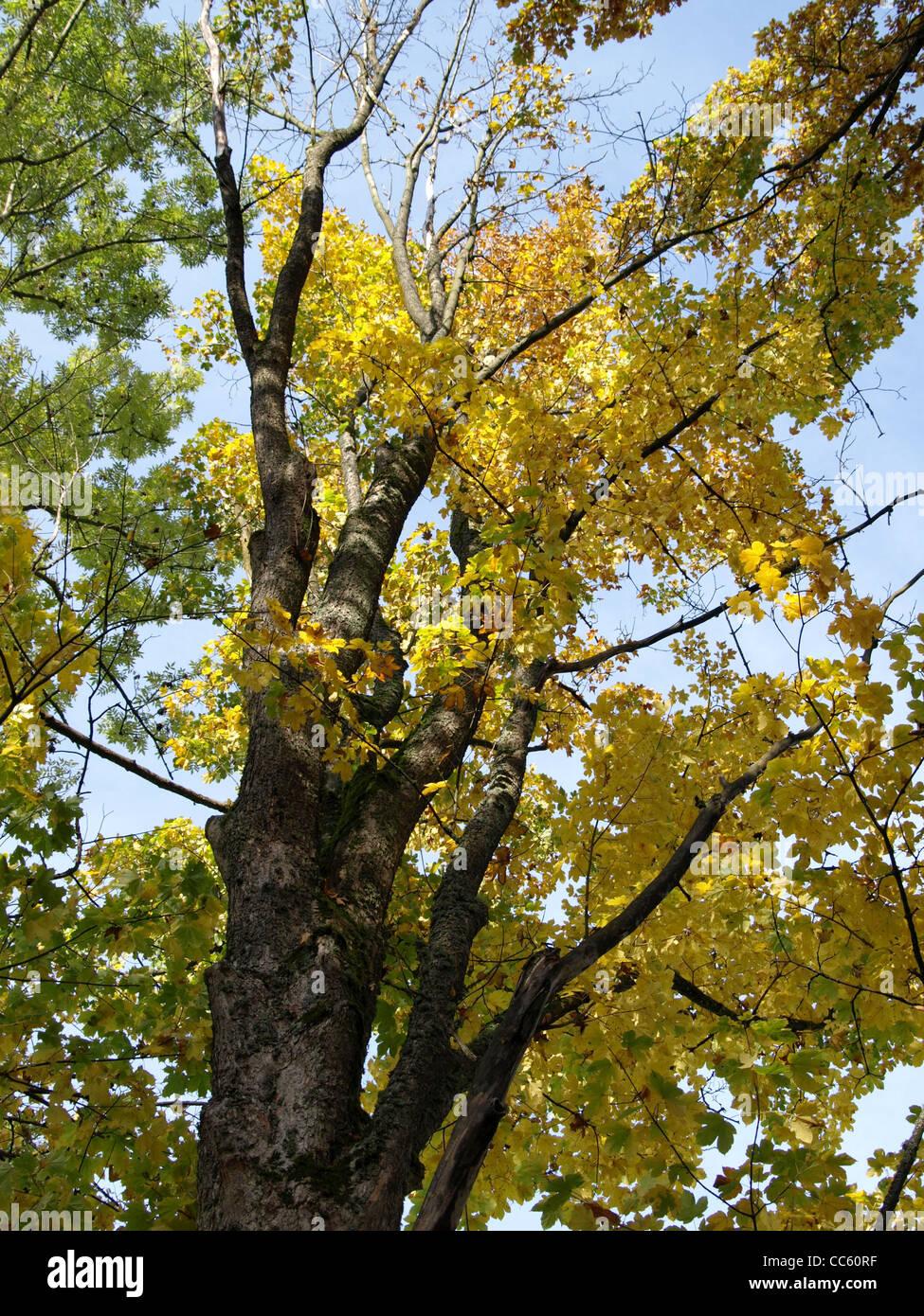 sycamore maple in autumn / Acer pseudoplatanus / Bergahorn im Herbst Stock Photo