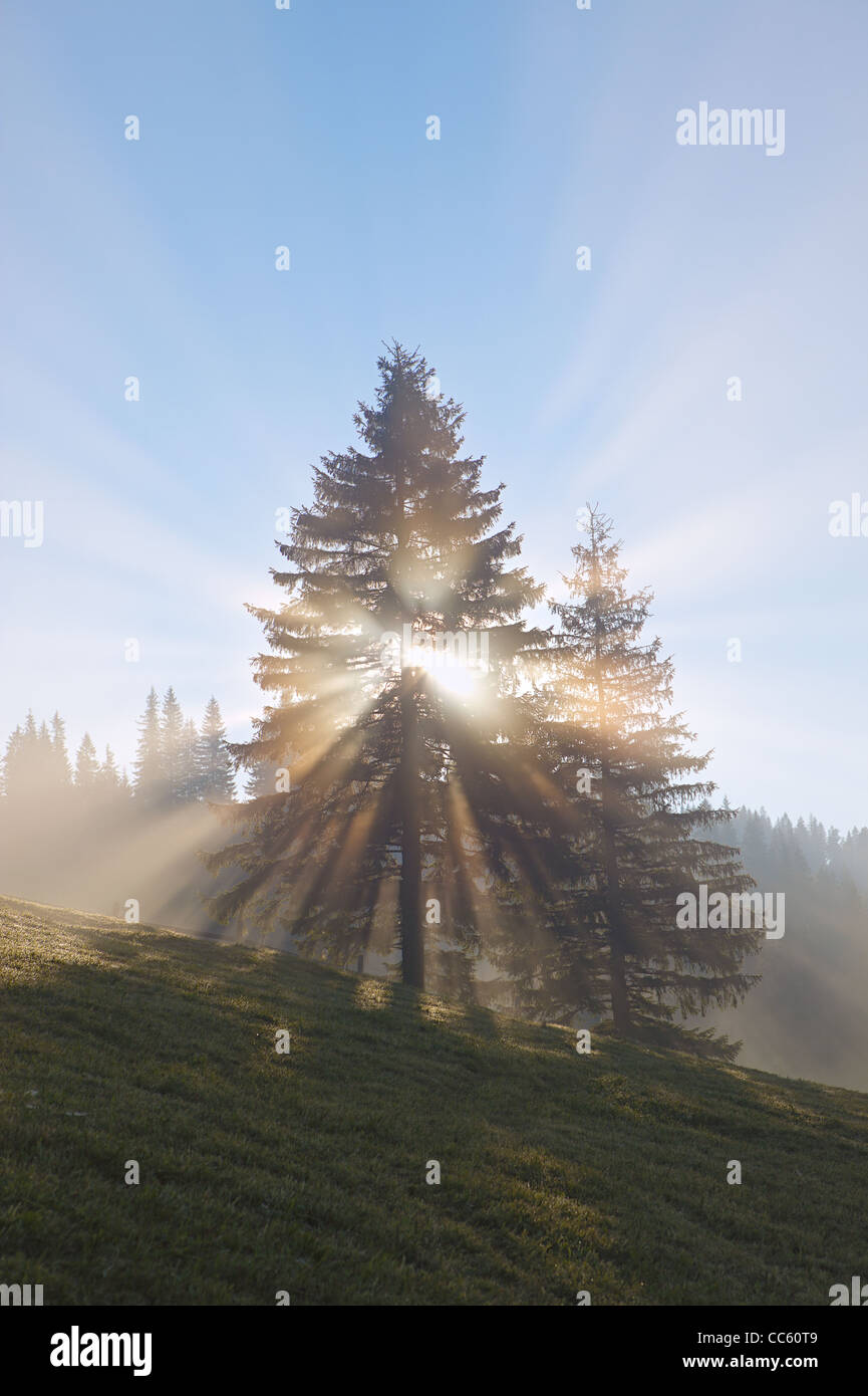 rising sun rays between the tree at foggy morning - Stock Image