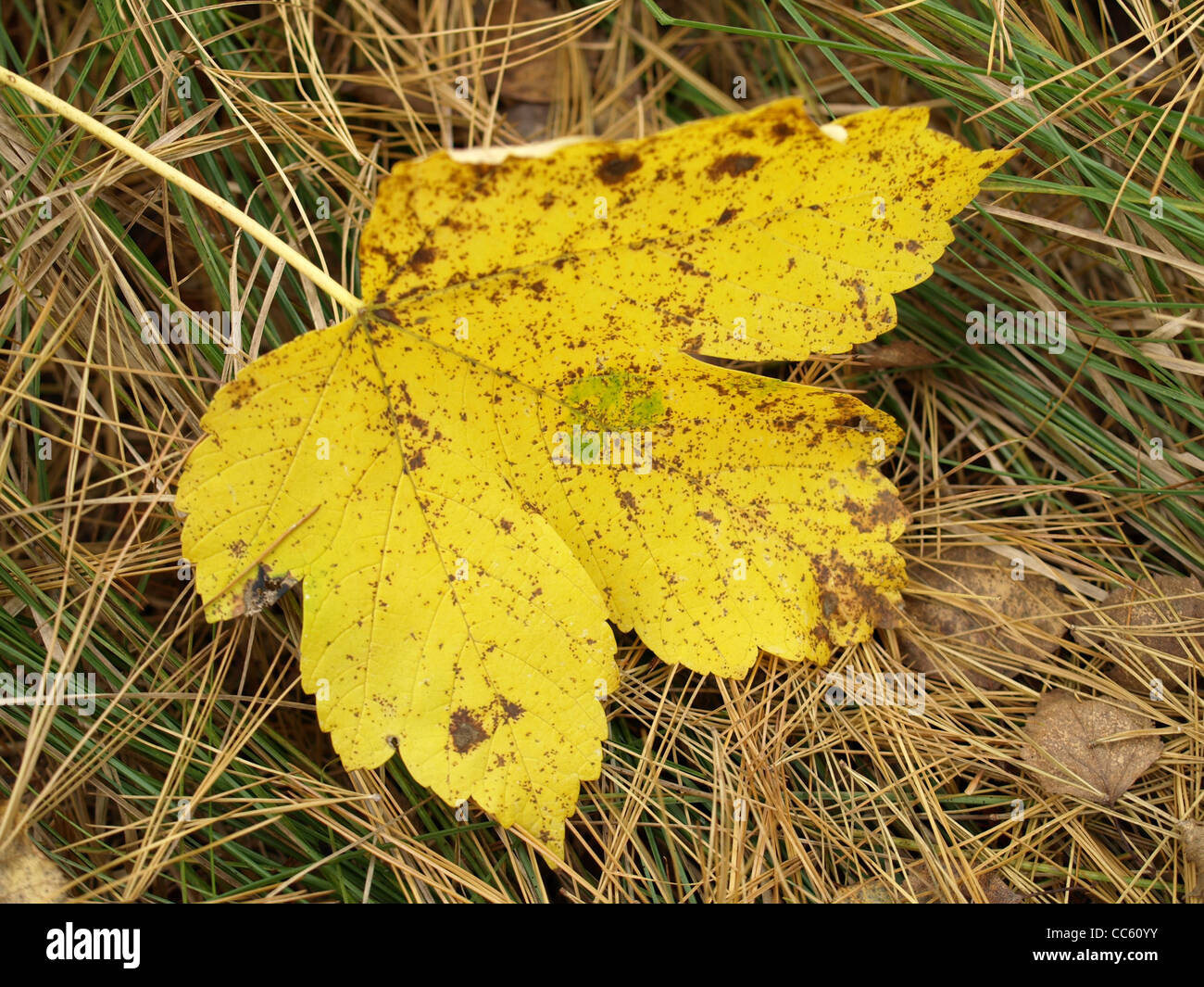fallen off leaf in autumn / abgefallenes Blatt im Herbst Stock Photo