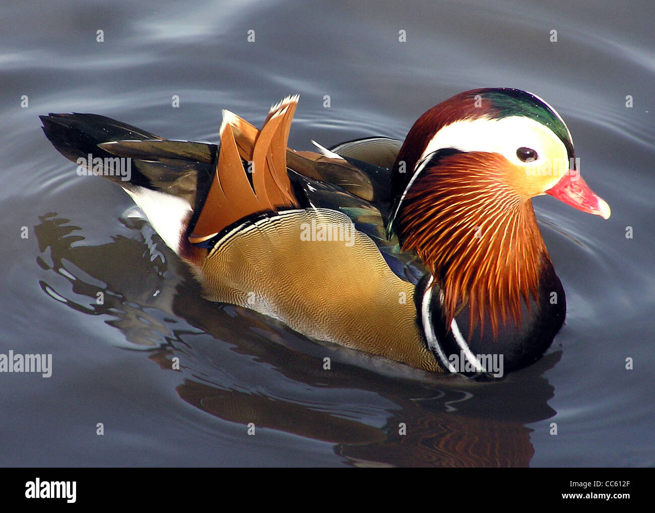 A male Mandarin Duck at Slimbridge Wildfowl and Wetlands Centre, Gloucestershire, England - Stock Image