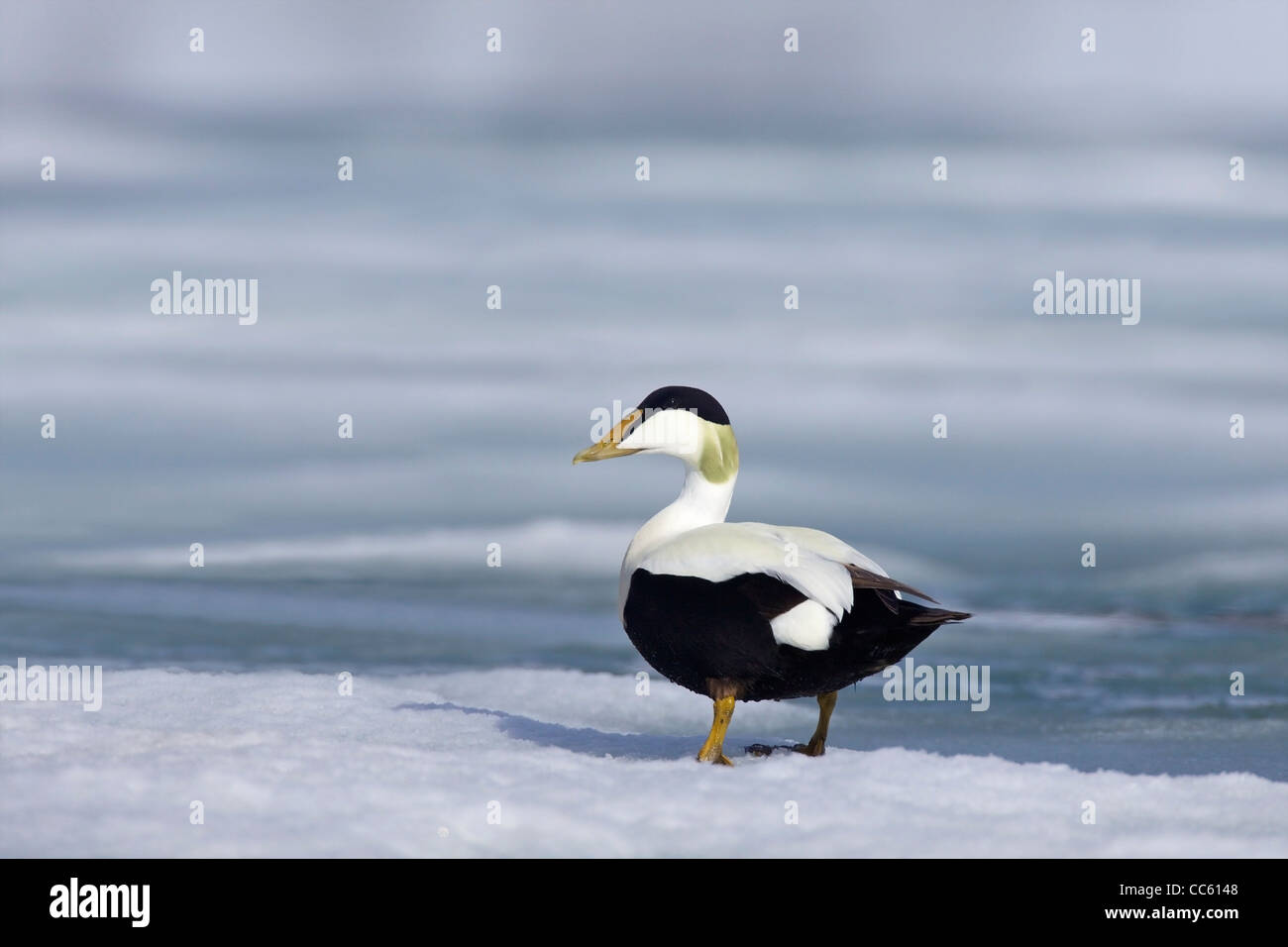 Male Common eider duck in breeding plumage, Somateria Mollissima, Holmiabukta in arctic summer, Northern Spitzbergen, - Stock Image