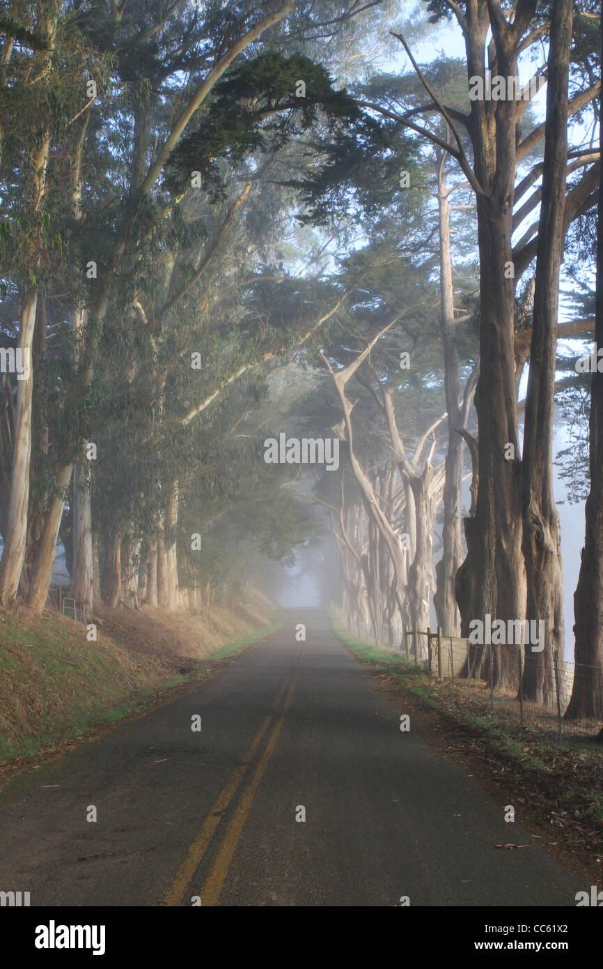 A beautiful eucalyptus  tree-lined road near Tomales, California. - Stock Image
