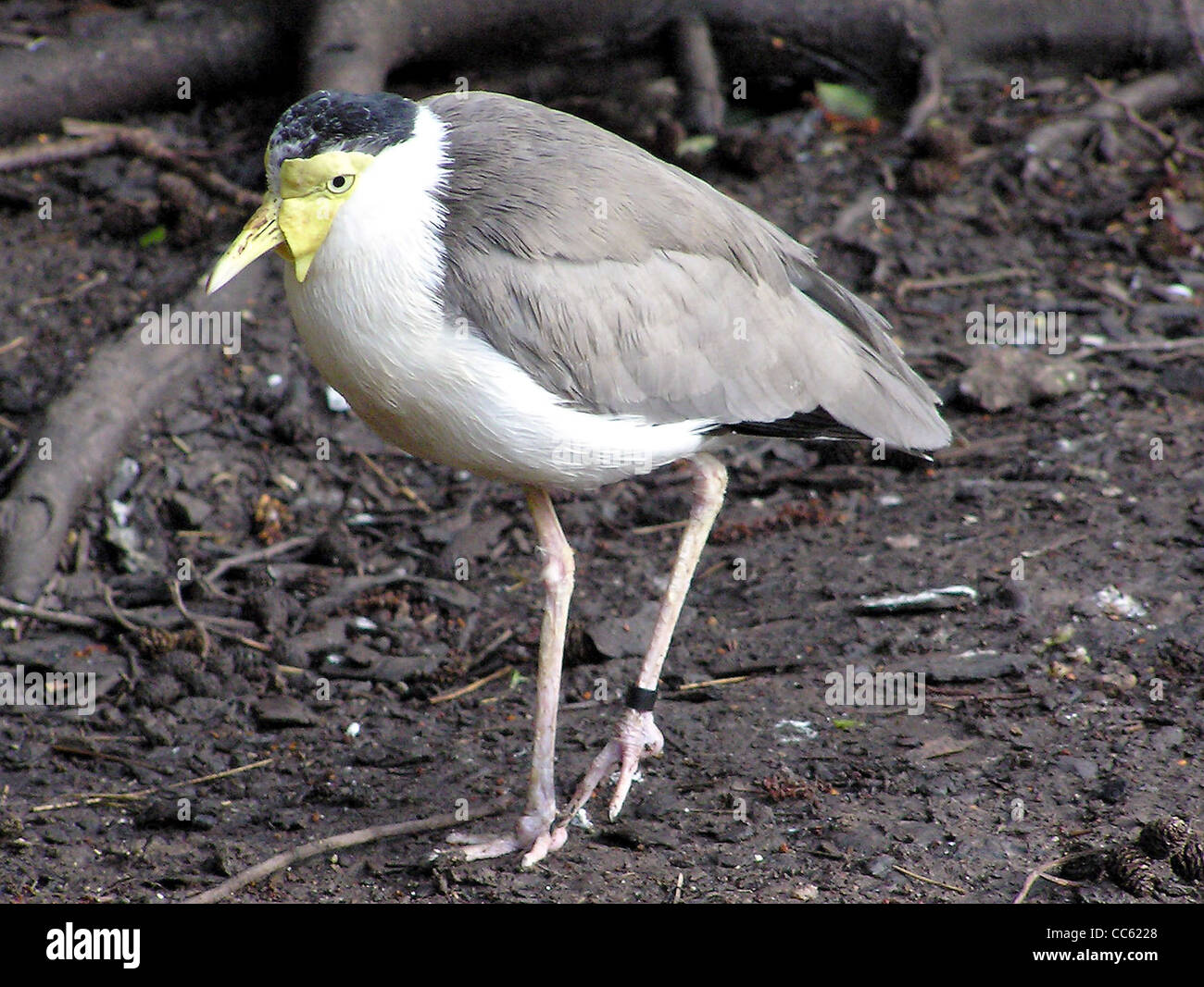 Masked Lapwing Vanellus miles miles in the Wallace Aviary at Bristol Zoo, Bristol, England. - Stock Image