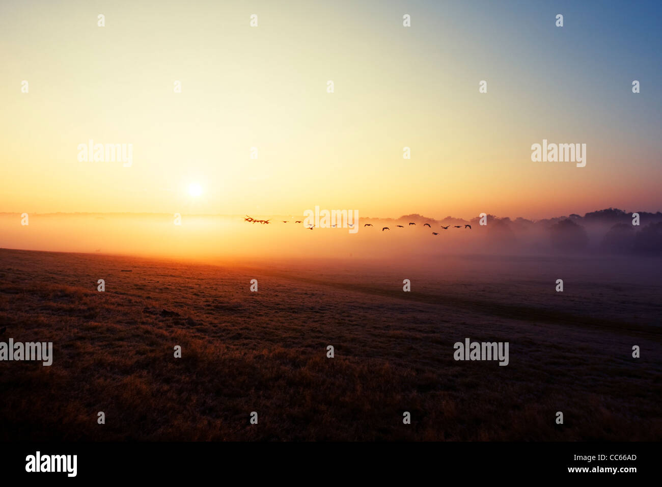 Flock of wild ducks flying in the sunrise. Richmond Park, London, England, UK. - Stock Image