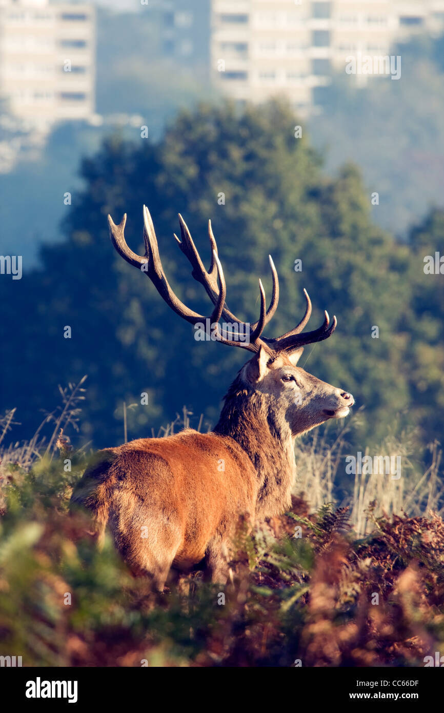 Red deer and Roehampton block of flats in the background Richmond Park, London, UK - Stock Image