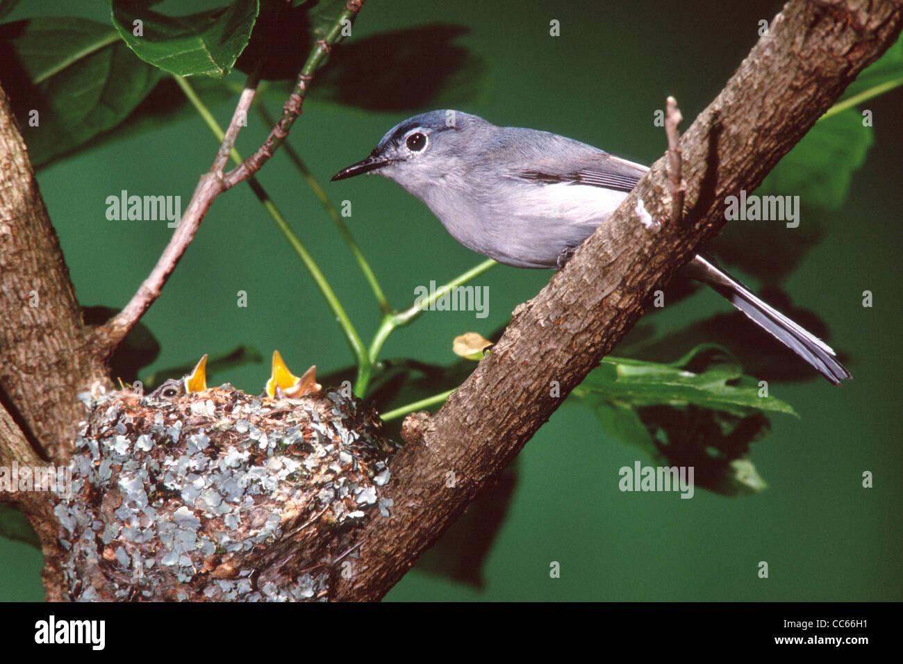 Blue-gray Gnatcatcher at Nest with Nestlings - Stock Image