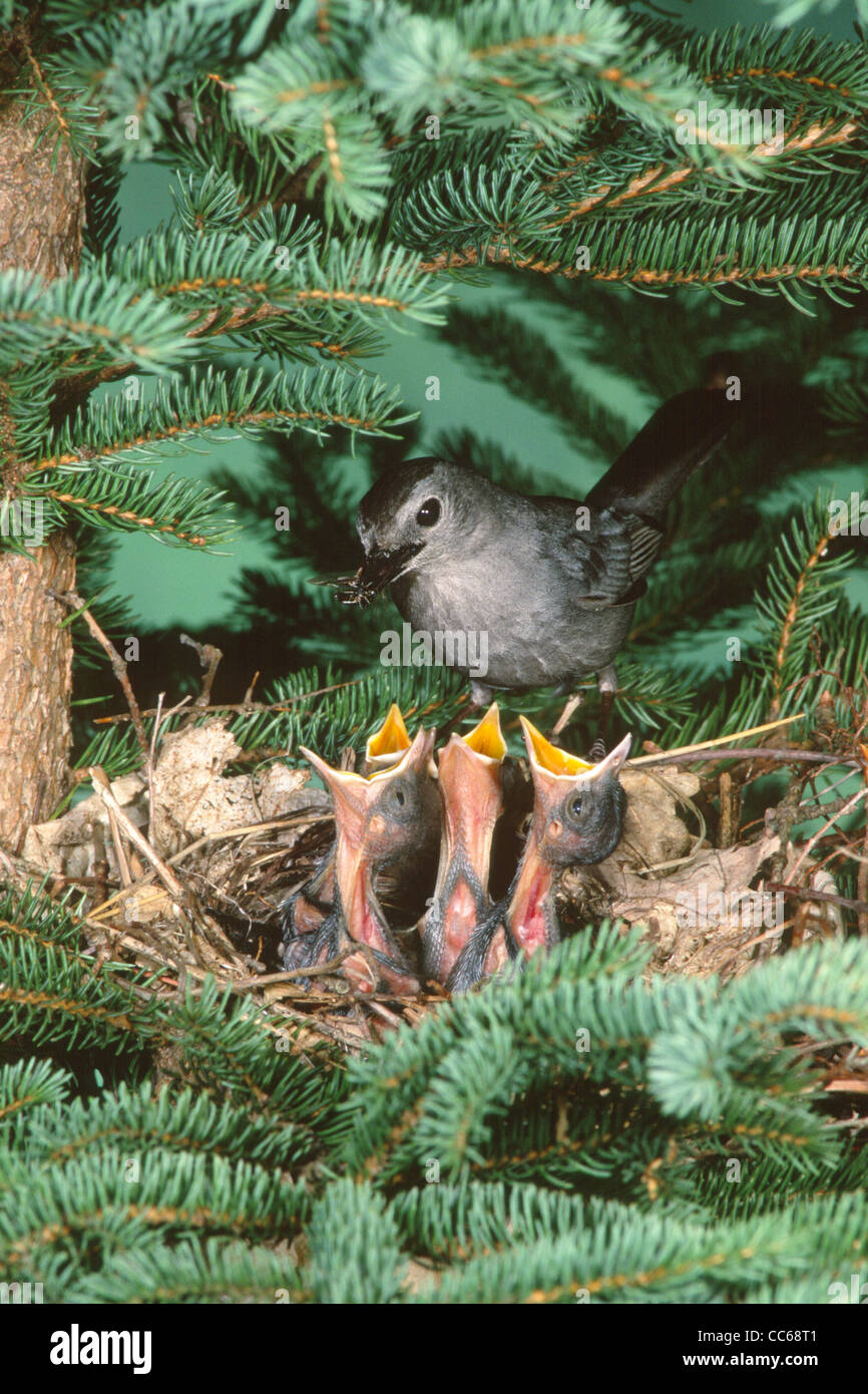 Gray Catbird at Nest with Nestlings - Vertical - Stock Image