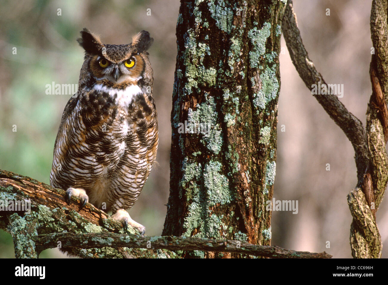 Great-horned Owl - Stock Image