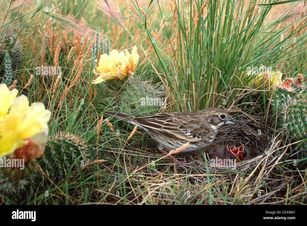 Lark Bunting - female at nest with nestlings - in field with cactuses and flowers - Stock Image