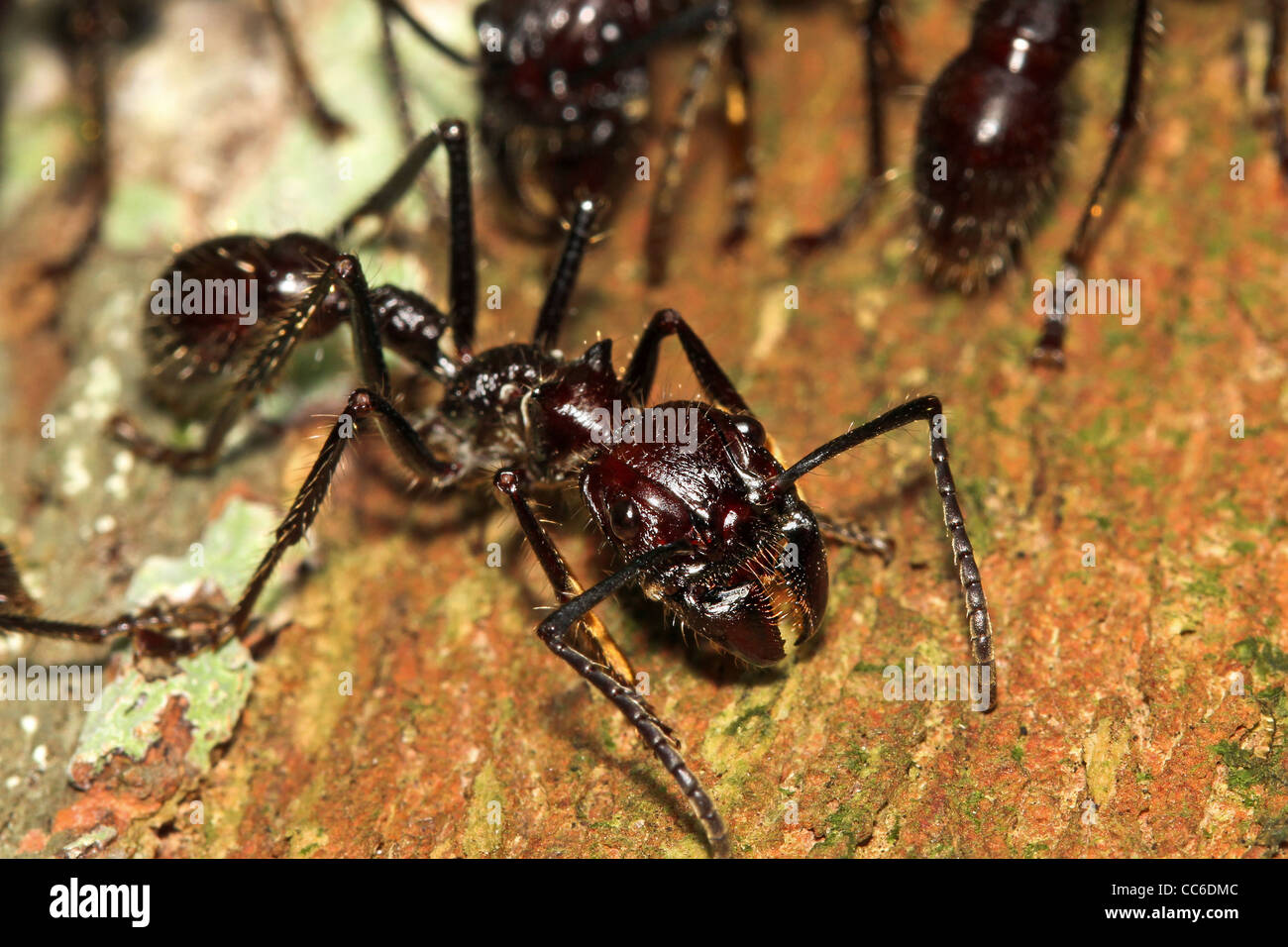 Bullet Ants in the Peruvian Amazon: the most painful and dangerous stinging insect in the WORLD! Stock Photo