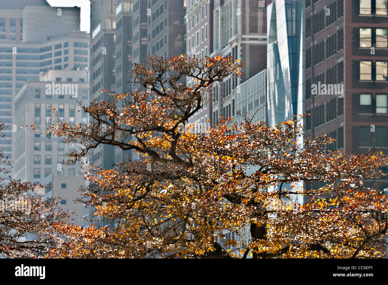 Autumn tree in Chicago park - Stock Image