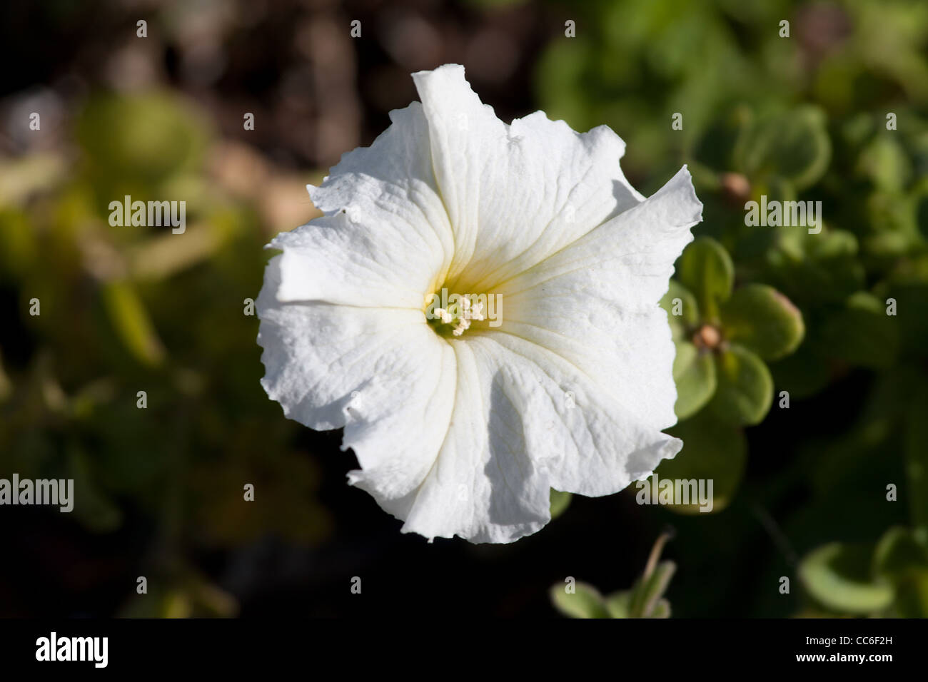 white petunia flower with leafs in garden - Stock Image