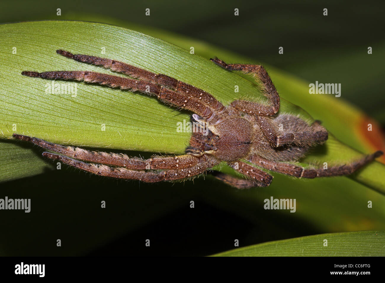 A LARGE, HAIRY, YELLOW spider in the Peruvian Amazon TERRIFYING closeups of some creepy crawlies - Stock Image