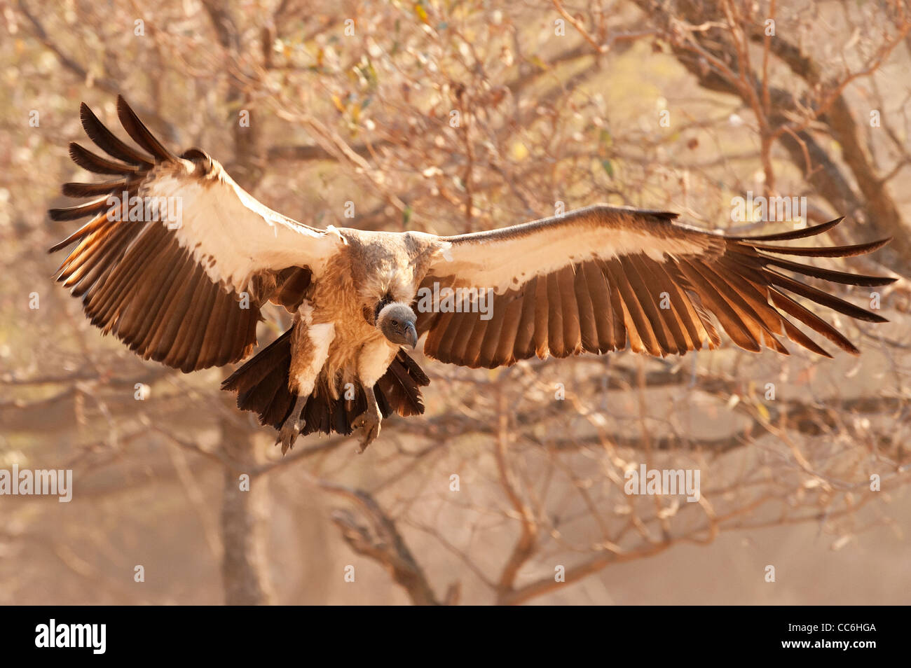 A White-backed Vulture landing to feed - Stock Image