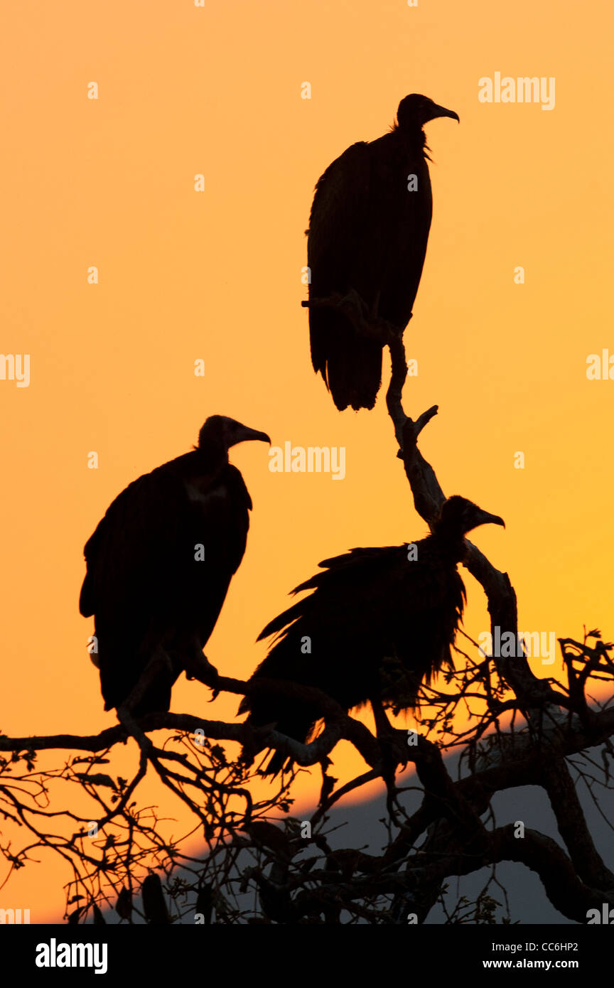 Silhouette of three White-backed Vultures - Stock Image