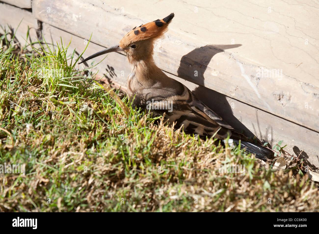 Hoopoe bird in the grass in Luxor Egypt Stock Photo