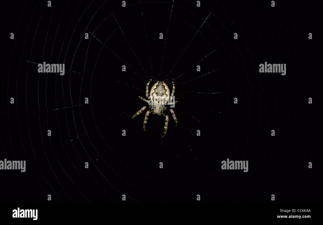 Orb Web Spider in web at night. UK - Stock Image