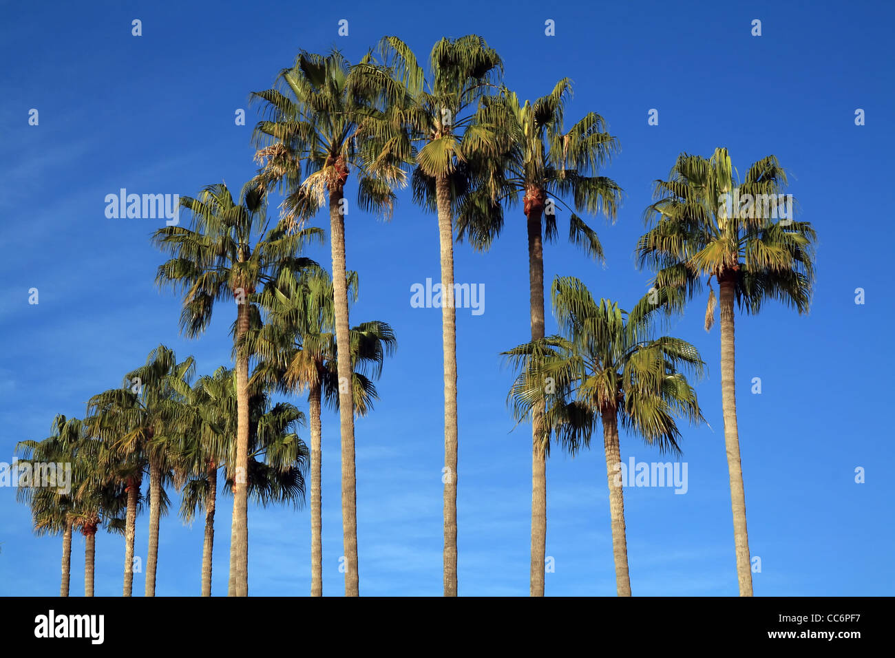 Mediterranean palm trees by the beach in the French Riviera. - Stock Image