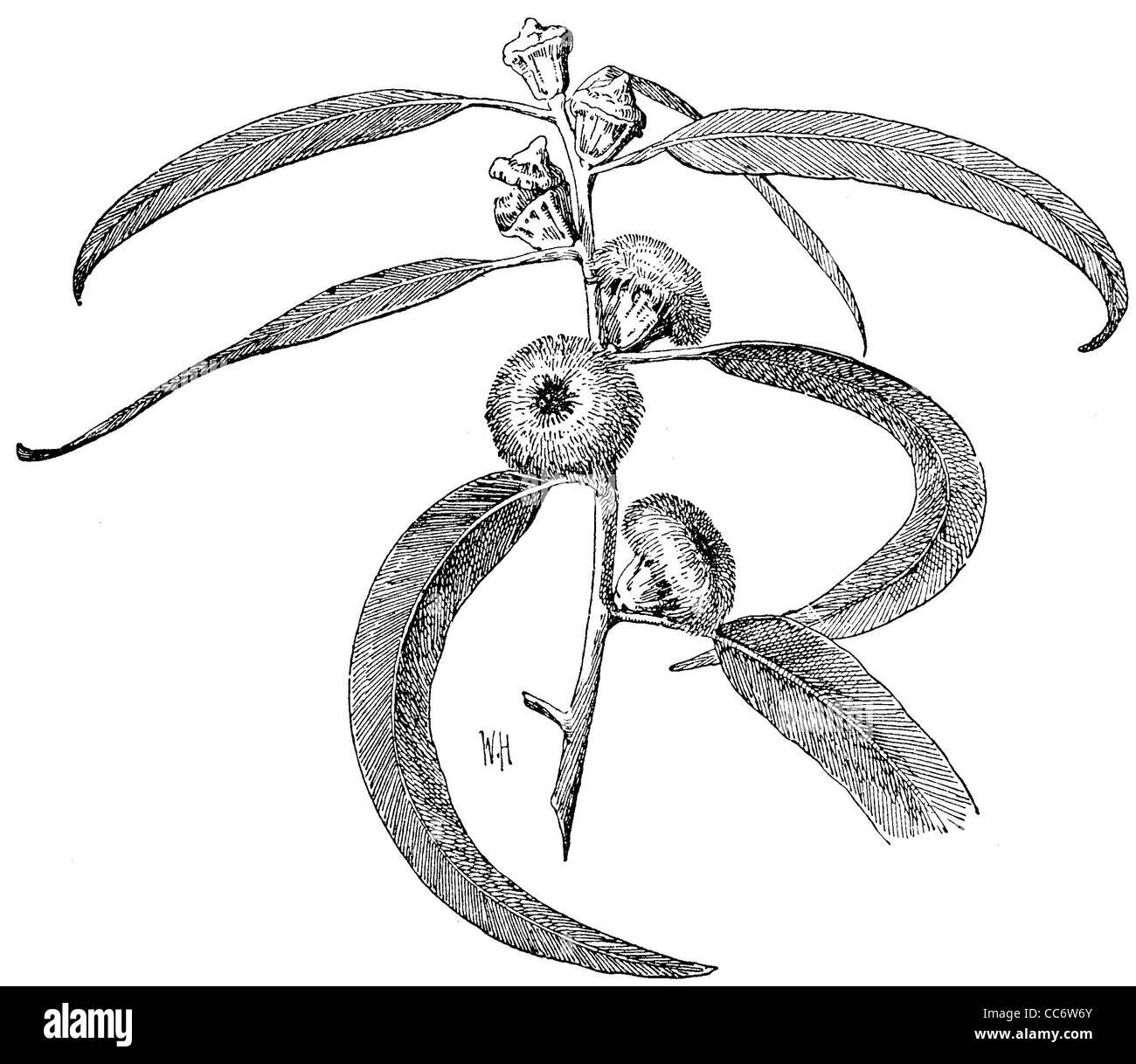 Eucalyptus: Flowering branch - Stock Image
