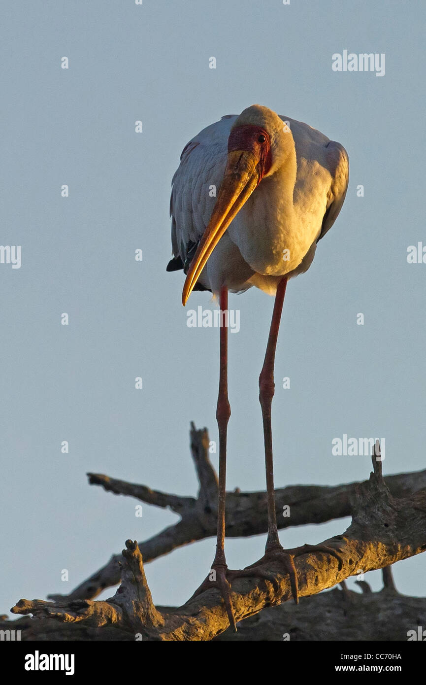 A Yellow-billed Stork roosting at sunset Stock Photo
