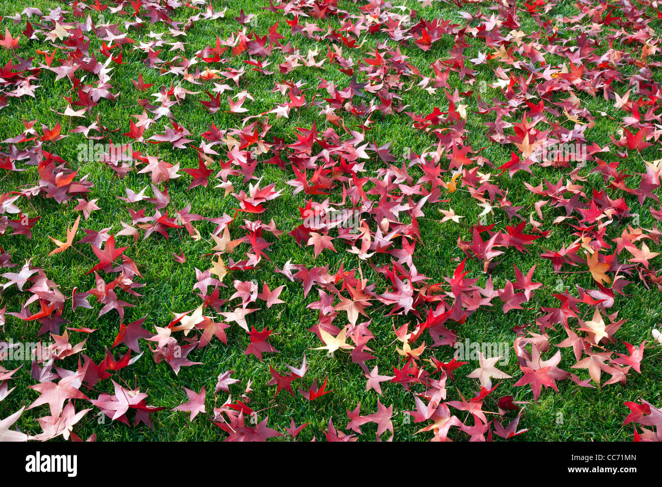 Red Liquid Amber Leaves on Green Lawn - Stock Image