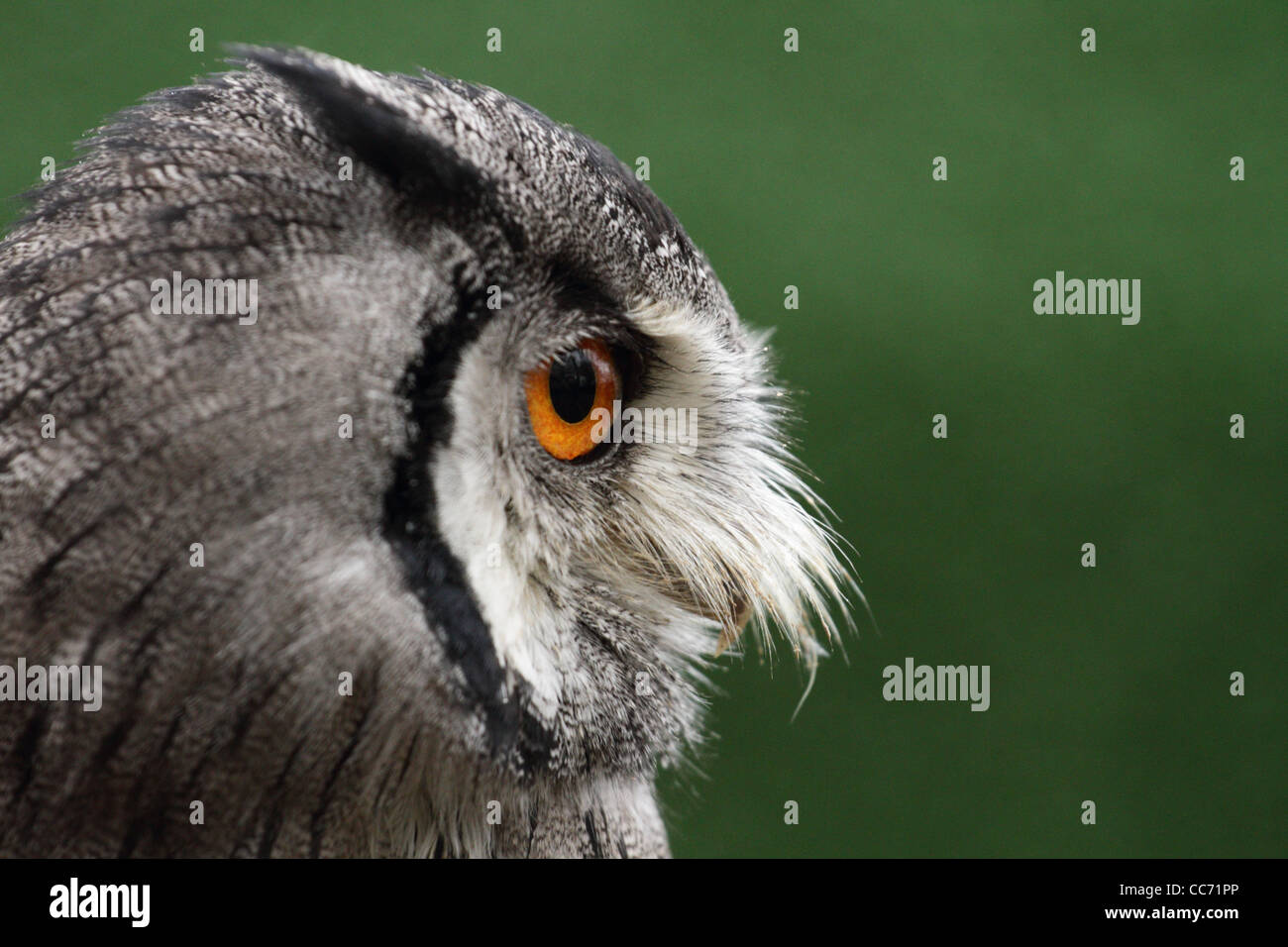 Northern White-faced Owl at Ebbw Vale Owl Sanctuary. - Stock Image