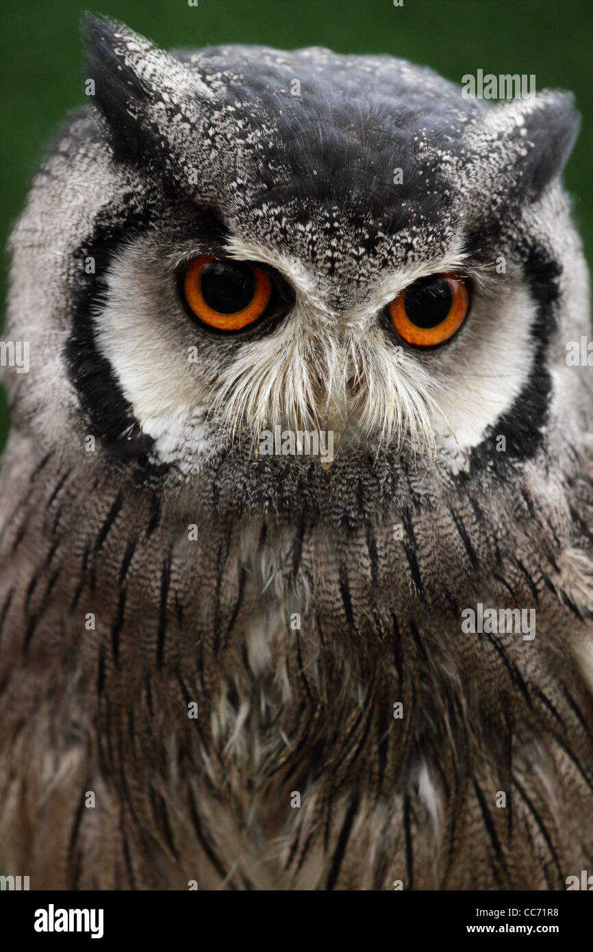 Northern White-faced Owl at a UK zoo. - Stock Image