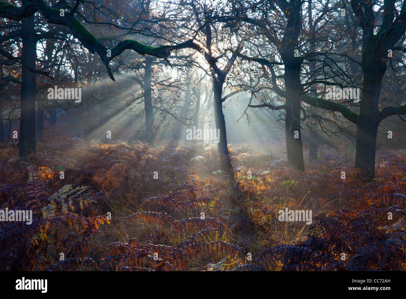 Common Oak (Quercus robur), Woodland with Bracken in Autumn Morning Mist, Reinhardwald, North Hessen, Germany - Stock Image