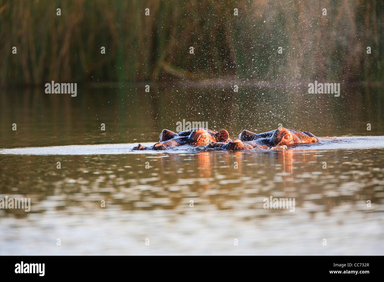 Hippopotamus peeking over the waterline while staying cool in the water during sunset - Stock Image