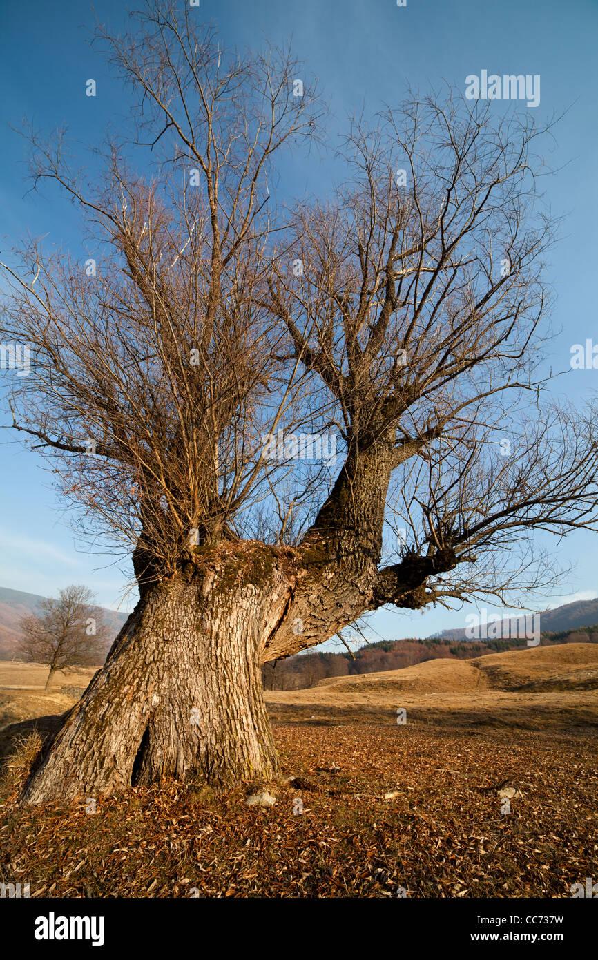 Landscape with a big hornbeam (carpinus betulus) tree on a meadow - Stock Image