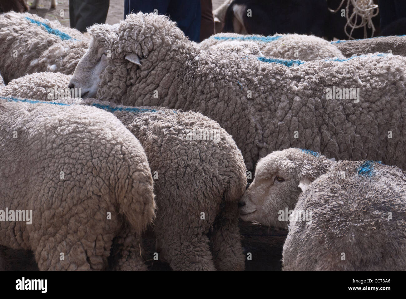 A herd of unshorn sheep are standing side by side, with blue lines painted on their backs, at the market in Saquisili, Stock Photo