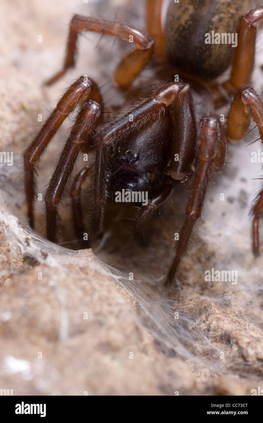 Lace webbed spider (Amaurobius similis) close up - Stock Image