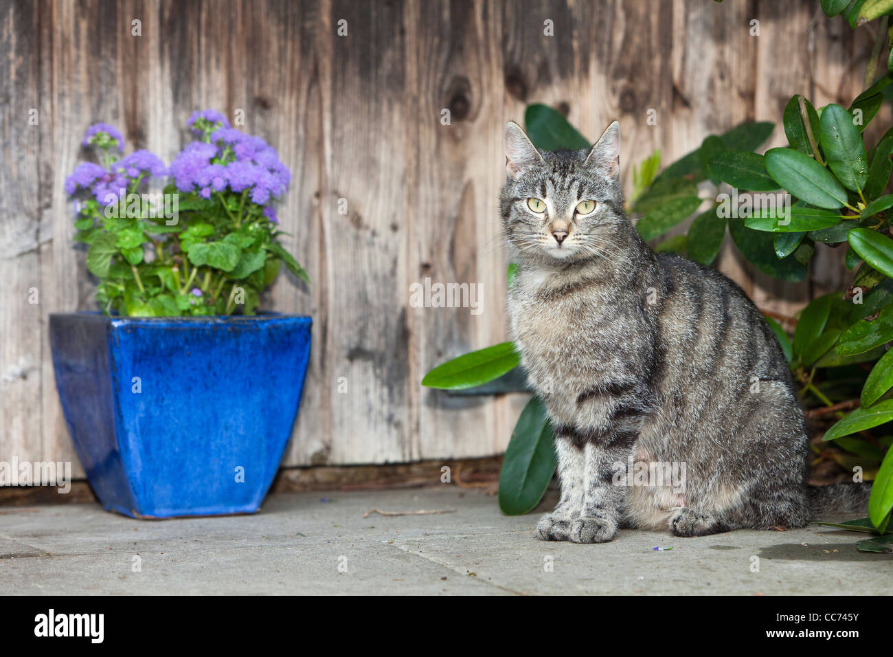 Domestic Cat, Sitting in front of Garden Shed, Lower Saxony, Germany - Stock Image